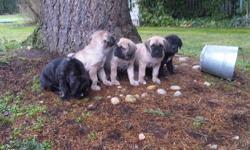 Mastiff Pups. 1st shots, dewormed, dewclaws, tails done, vet certificates. Ready to go. Parents viewable. Aldergrove. 778-241-9247