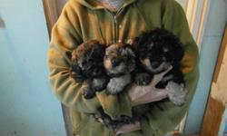 Adorable Schnoodle puppies ready to go to a loving home anytime after Dec.16.Vet checked,vaccinated,and dewormed.These puppies are in excellent health.Four females & one male.Male is on left in picture with 3 puppies. Adult weight should be between 8 & 10