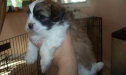 3 Adorable... Shih Tzu puppies for sale 2 males and 1 female. Very well socialized with people and children. They come with a Vet record check first set of shots de-wormed and declaws removed. They will be ready to go on Dec 04/2011. Come and take a look