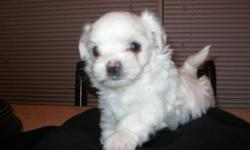 The puppies 1 male, 1 female all white with sweet faces,thick coats and mild temperments.The pups are vet checked, for shots and dewormed. They come with a beginers puppy pack, that has food for at least 3 days, treats, a toy and a blanket. Come and visit