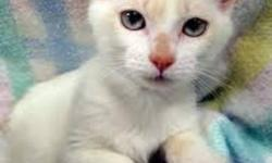 Meet SHORTBREAD She came into care with HOLLYS HOPE CAT RESCUE & can be seen on our website www.hollyshope.org She's a delightful wee flame point Siamese kitten with a wonderful personality & a loving nature. She loves to play,cuddle & purr.  If you wish