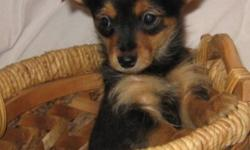 Chorkie puppies for sale. Two males and one female. Dad is a Yorkie and mom is a Chihuahua. They have been checked by the vet, first shots and dewormed. Adult estimated weight will be from 5-7 lbs. Ready for their new home.