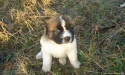 We have 2 male St Bernard Pups still looking for their forever homes. Ready to go this weekend. They make wonderful family pets, both protector and playmate. Great with kids of all ages. Call 403-896-1062 for more info