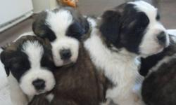 Five cuddly st bernard pups for sale! 2 females and 3 males raised on a farm; both parents get along great with other animals and children; father and mother are on site. These pups will be 3x dewormed, have their first shots and vet checked. St Bernards