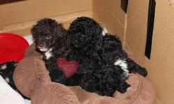 3 very cute non registered toy poodle puppies.   One brown male with white markings, one black male with white markings and one black female with little white on back paws.They will have first shots and be dewormed.  Available at 8 weeks of age as of Jan