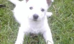 We are selling the most adorable westie pups! We have 2 males and 2 females available. We recomend you starting them off at  your own vet.