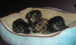 These Puppies are NON-SHEDDING, HYPO-ALLERGENIC sweet cuddly little lap dogs, they are in home raised and well socialized with other animals and kids!!!!!! I have 2 Adorable Yorkie-Apso Female Puppies left and ready to go to their new loving homes