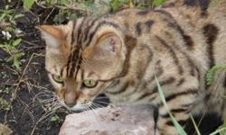 Pure Bengal Female with arrow headed spot, fine features, distict markings and has beautiful kittens. pics of her and her litter.  Personal situation having to sell.  She is intact/not fixed. is both trained to go outside or litter inside. excellent
