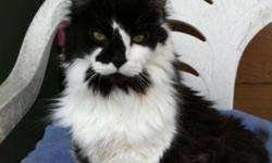 Breed: Domestic Long Hair-black and white   Age: Adult   Sex: F   Size: L This gal is a long haired beauty. She came from a house that had about 10 cats & 3 dogs in it. I am not so sure that she appreciated it. Sneakers came to these people as a stray