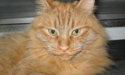 Breed: Domestic Long Hair - orange   Age: Adult   Sex: F   Size: L Thomasina is a rare long haired orange female cat. She is a declawed 3 year old. She is very laid back when she is away from other animals. She was rescued from a pound and now sports a