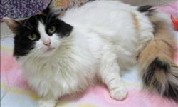 Breed: Domestic Long Hair Turkish Van   Age: Adult   Sex: F   Size: M Are you looking for a cat that is affectionate, friendly, loves to be petted and pampered? Then I'm definitely the cat for you! My name is Cleo and I was brought to the Kamloops SPCA