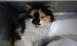 Breed: Domestic Long Hair   Age: Adult   Sex: F   Size: M Suzie arrived at the Shelter on November 7th and has already charmed us with her beauty and grace. She's a lovely long haired calico feline with beautiful sparkling green eyes. She is somewhat