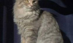 Breed: Domestic Medium Hair-gray   Age: Adult   Sex: F   Size: M Cachou is a beautiful long-haired grey and beige young female cat was adopted last summer as a kitten and is now in need of a new family. Cachou's family has moved to a smaller home