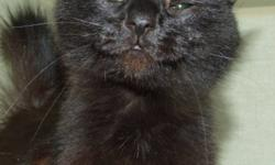 Breed: Domestic Medium Hair-black   Age: Adult   Sex: F   Size: M Born about 2010 Chives and a batch of cats and kittens were dropped off at the shelter by people who believed the cats were abandoned by their owners. With some time to recover from fleas,