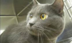 """Breed: Domestic Medium Hair   Age: Adult   Sex: F   Size: L """"Josie has the nicest temperament of any cat that I have known!"""" says her foster mom. She is very gentle, quiet and easy going. When Josie arrived it took her a couple days to feel comfortable"""