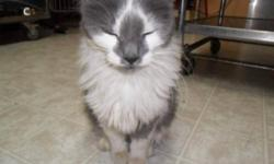 Breed: Domestic Medium Hair - gray and white   Age: Adult   Sex: F   Size: M My name is Ace,I am an adult spayed female...I was left behind when my owner moved. She had left me with a friend but her cat and I didn't get along so here I am...I have been