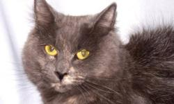 Breed: Domestic Medium Hair-gray   Age: Adult   Sex: F   Size: M This beautiful girl is Hope and she is absolutely stunning! She's about as pretty as they come and she is hoping she won't have to wait very long for a real home of her own. Don't make her