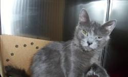 Breed: Domestic Medium Hair   Age: Adult   Sex: F   Size: M Primary Color: Grey Age: 1yrs 11mths 2wks Animal has been Spayed   View this pet on Petfinder.com Contact: Surrey Branch BC SPCA   Surrey, BC