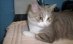 Breed: Domestic Short Hair   Age: Adult   Sex: F   Size: M Primary Color: Grey Tabby Secondary Color: White Age: 3yrs 6mths 1wks   View this pet on Petfinder.com Contact: Abbotsford BC SPCA | Abbotsford, BC