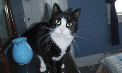 """Breed: Domestic Short Hair-black and white   Age: Adult   Sex: F   Size: M DOB Septmener 1 2005 Mrs. O'Hara is a darling, friendly girl with perfect black and white """"Sylvester the Cat"""" markings and incredibly long whiskers. Sweet and"""