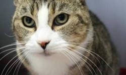 """Breed: Domestic Short Hair Tabby   Age: Adult   Sex: F   Size: L The name Bertha is from the old German and means """"Bright One"""". In this case, it accurately reflects a very charming personality that really does make things seem just a little"""