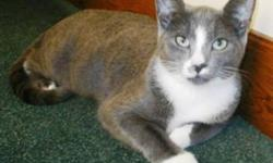 Breed: Domestic Short Hair - gray and white   Age: Adult   Sex: F   Size: S Camille is a friendly and affectionate little girl. When she was a kitten she was more of a loner than she is now. She can be found with the other cats more often now and she gets