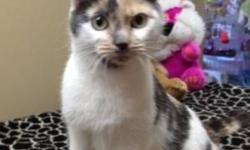 Breed: Domestic Short Hair   Age: Adult   Sex: F   Size: S KT 2 Year Old Female Domestic Short Haired KT is a sweet girl who loves being around people and being petted.   View this pet on Petfinder.com Contact: Homeward Bound City Pound | Dartmouth, NS