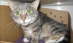 Breed: Domestic Short Hair   Age: Adult   Sex: F   Size: M Hi I'm Shasta and I would love to meet you. I was brought to the SPCA after my owner's moved out and left me behind. I am a lovely and friendly cat, but I can be a bit shy at first, so I would
