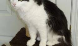 Breed: Maine Coon Tuxedo   Age: Adult   Sex: F   Size: L Stray Melbourne area Oct.28, 2011     Tippy is a stray that was fed and looked after by a senior who has now moved to a Senior's apartment. She was taken to our shelter from the Melbourne area