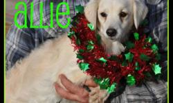 Breed: Spaniel   Age: Adult   Sex: F   Size: M 2 year old spayed SpanielX about 20 pounds. Pretty little Allie hasn't had a great life up to now. Dumped by her breeder her and her year old pups landed at one of the highest kill shelters in California. Her
