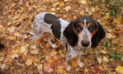Breed: Bluetick Coonhound Coonhound   Age: Adult   Sex: F   Size: M Please contact Jean (houndrescue@yahoo.ca) for more information about this pet.     UPDATE:  Hayley's foster mom says that Haley is getting better every day.  She loves to snuggle up with