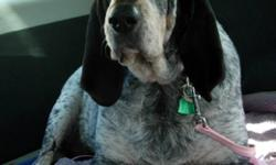Breed: Bluetick Coonhound Coonhound   Age: Adult   Sex: F   Size: L Please contact Jean (houndrescue@yahoo.ca) for more information about this pet.     What can I say about Speckles other than WHAT A SWEETHEART!  She is a gentle laid back gal with a
