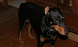 Breed: Doberman Pinscher   Age: Adult   Sex: F   Size: L Female, approx. 2-2.5, spayed, cropped/docked, black, excellent with kids and other dogs, no idea about cats. Very friendly and easy-to get along with! Currently being fostered near Grafton, ON.