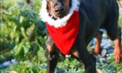 Breed: Doberman Pinscher   Age: Adult   Sex: F   Size: L Volunteer Notes: Nov 29/11: Sweet Trixie is an absolutely beautiful Dobie. She is very good and affectionate with people. She loves treats, and knows sit. Trixie is very good on leash and walks very