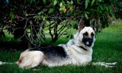 Breed: German Shepherd Dog   Age: Adult   Sex: F   Size: L Anna is a sweet tempered, easy going girl who loves everyone she meets. She is very quiet and low key, loves to play with other dogs, unsure about cats. She is fairly good on a leash but does pull