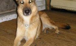 Breed: German Shepherd Dog Husky   Age: Adult   Sex: F   Size: L Elle s'appelle Kaliska qui signifie coyote, tout simplement parce qu'elle lui ressemble beaucoup. Elle est une vraie fugueuse, il faut toujours faire attention aux portes! Par