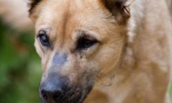 Breed: German Shepherd Dog Labrador Retriever   Age: Adult   Sex: F   Size: L Ellie is a lab/shepherd cross (we think!) and is around 6 years old. She spent the last 2 months at the Lethbridge Animal Shelter but is now lapping up the love in a foster