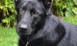 "Breed: German Shepherd Dog   Age: Adult   Sex: F   Size: L Please see our website for more information. GSDRescue@shaw.ca www.gsrbc.com img border=""""0"""" src=""""http://members.shaw.ca/gsdrescue/stonehome.gif"""" width=""""120"""" height=""""80"""">   View this pet on"