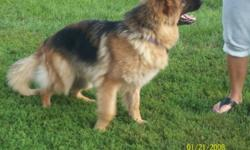 Breed: German Shepherd Dog   Age: Adult   Sex: F   Size: L Sasha is a lovely 4 year old long haired black and red German Shepherd.She has spent most of her life tied up on a chain but has responded well to training,she walks well on a leash and is