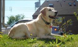 Breed: Labrador Retriever   Age: Adult   Sex: F   Size: L Beautiful Blondie was reluctantly surrendered to Kiko due to a career change and ensuing move. She was a beloved pet since puppyhood and has always been well taken care of. Blondie is 6 years old