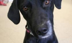 Breed: Labrador Retriever   Age: Adult   Sex: F   Size: L Meet Joy! She's looking to bring happiness into her furrever family's home. Joy is a three year old Labrador Retriever Cross. She was surrendered after her dad was in an accident and could no