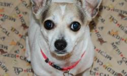 Breed: Chihuahua   Age: Adult   Sex: F   Size: S Lilly is one of two 5-year-old Chihuahua sisters born in August 2006 who were surrendered to Kiko because their owner no longer had time for them. Weighing in at about 10 pounds, Lilly is the more