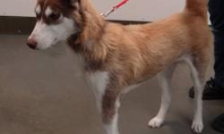 Breed: Husky   Age: Adult   Sex: F   Size: L   View this pet on Petfinder.com Contact: Saskatoon SPCA | Saskatoon, SK