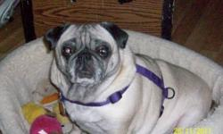 Breed:  Pug   Age:  7-8 yrs old   Sex:  F   Size:  S   Holly is a 7-8 year old female pug who is spayed. She has also had her nares and pallet corrected 4 years ago. Holly is a former breeding dog that was retired 4 years ago when she came into Manitoba