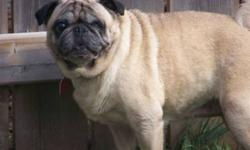 Breed:  Pug   Age:  5 yrs old   Sex:  F   Size:  S   My name is Leila and I am 5 years old. Spayed, up to date shots, heart worm tested and de-wormed. I am blind in one eye. But can get around very well!! I was rescued from a puppy mill and I am ready to