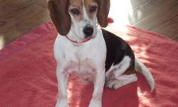 Breed: Beagle   Age: Adult   Sex: F   Size: S I'm Suzy. I love people, I walk easy on a leash, I don't bother with cats, I like other dogs, I'm crate trained and travel well in a vehicle. I'm ready for 2012 to be a new beginning. I was living in very