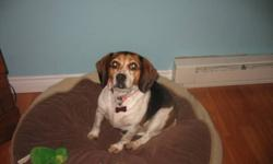Breed: Beagle   Age: Adult   Sex: F   Size: M Hello my name is Tia. I am a quiet ,small affectionate beagle looking for a forever home. I am so thankful to Beagle Paws for rescuing me. I am working hard on my housetraining and almost have it down! Now I'm