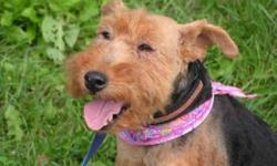 Breed: Welsh Terrier   Age: Adult   Sex: F   Size: S Meet the lovely Brenna, an unbelievably sweet Welsh Terrier born around 2003. She had belonged to a backyard breeder but was no longer useful for producing puppies. Despite how she spent most of her