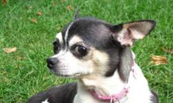 Breed: Chihuahua   Age: Adult   Sex: F   Size: S Yanka is a 3-4 year old chihuahua. She is a bit nervous with new people at first, but warms up quickly and loves to cuddle. She is good with other dogs and cats. She has been spayed, vaccinated,