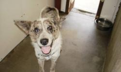 Breed: Catahoula Leopard Dog Australian Cattle Dog (Blue Heeler)   Age: Adult   Sex: F   Size: M My name is Freckles. I am very friendly and am pretty good on the housetraining. Don't I have neat coloring? I get along with most dogs but some we just do